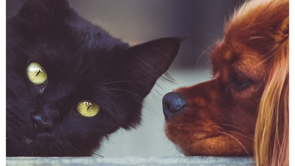 Distemper in Dogs and Cats