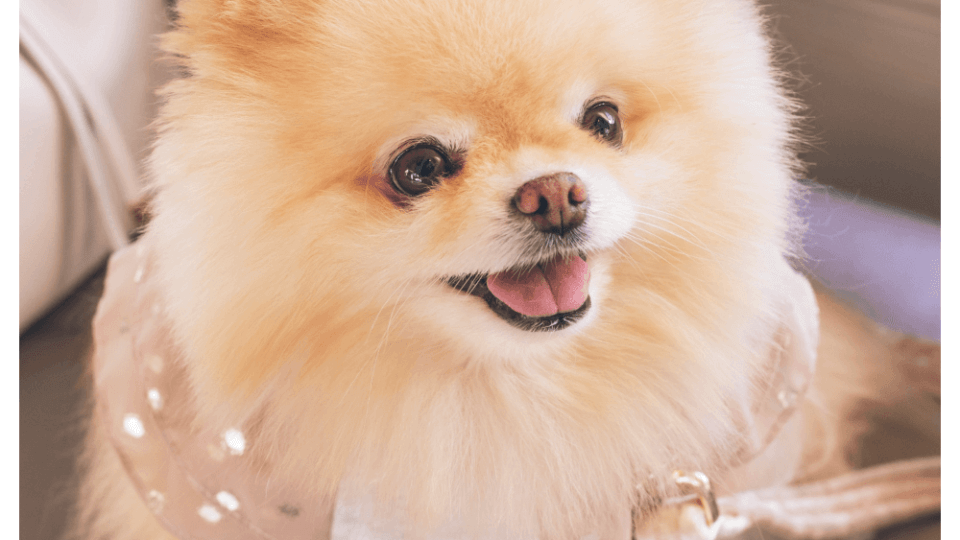Are Pomeranians good indoor dogs?