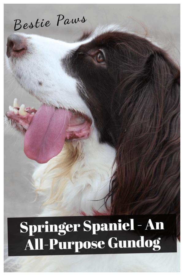 Are springer spaniels working dogs?