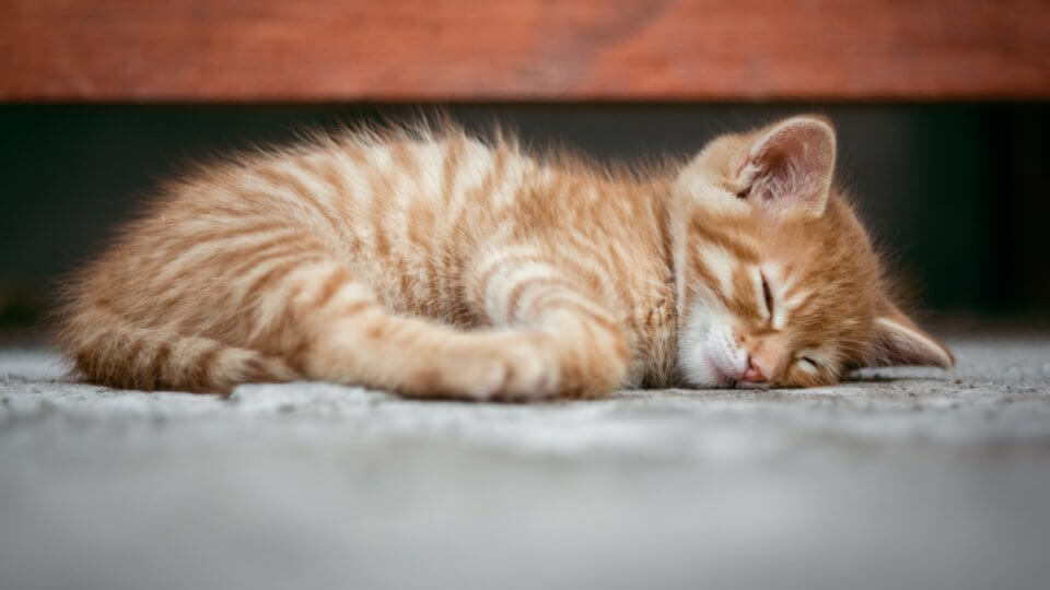 What are the first signs of distemper in cats?