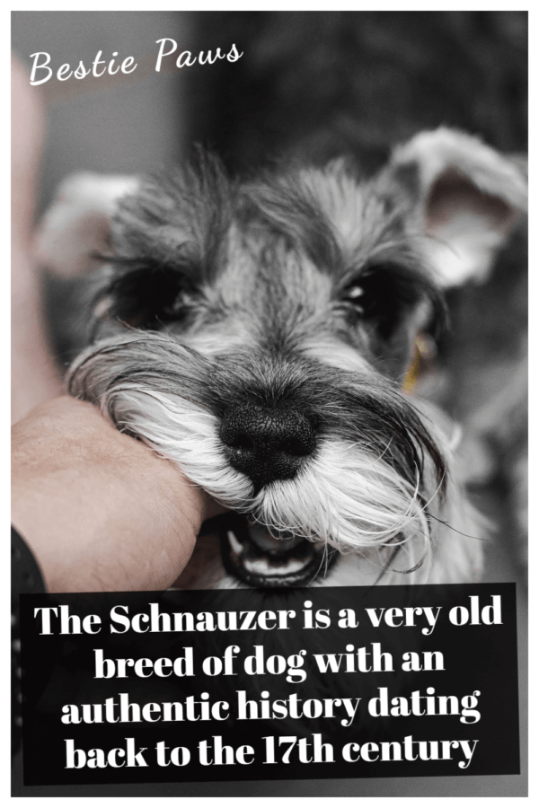Are schnauzers playful?