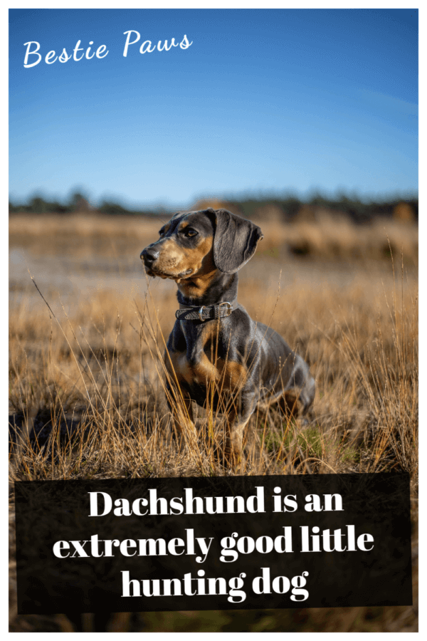 Is a dachshund a good family dog?