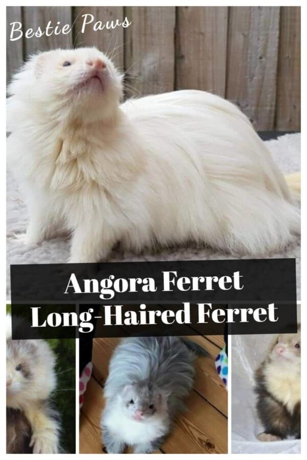 The Long-Haired Angora Ferret