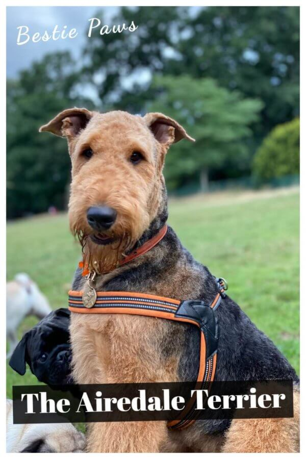 Are Airedale terriers good family dogs?