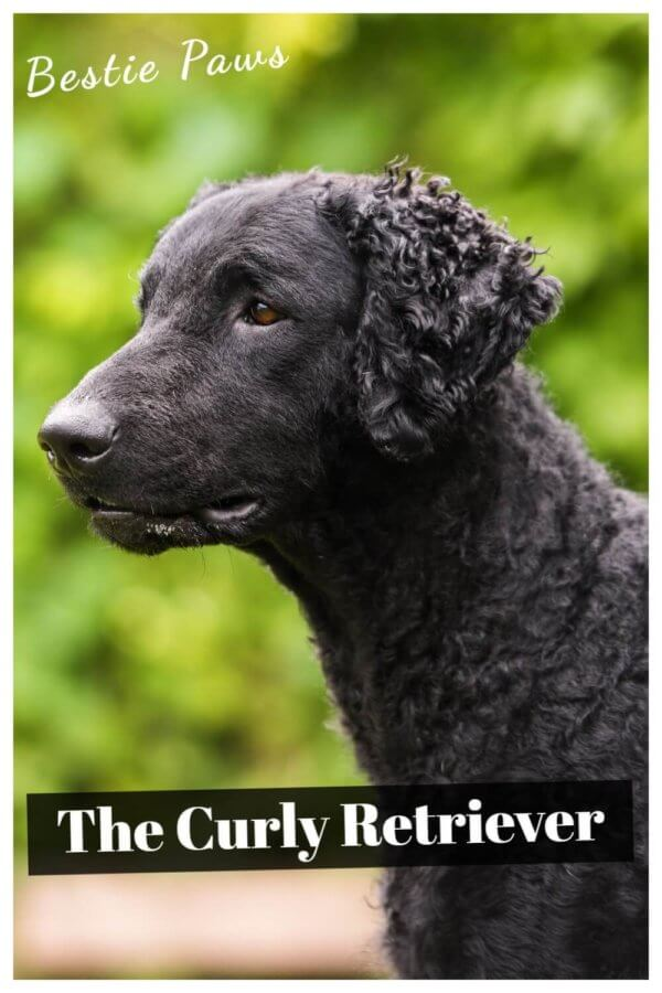 Are Curly Coated Retrievers good family dogs?
