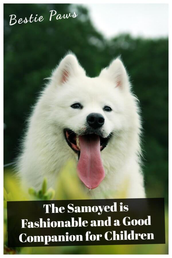 Are Samoyed good family dogs?