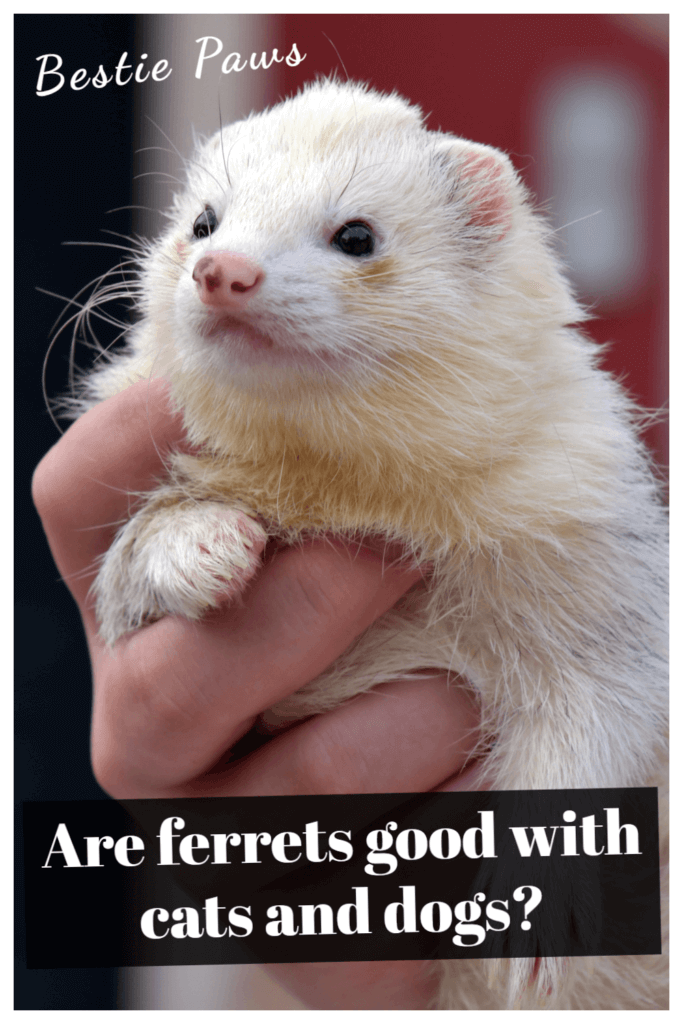 Are ferrets good with cats and dogs?