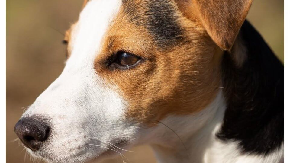 Are smooth fox terriers good family dogs