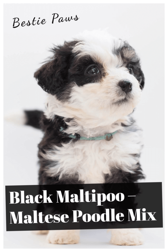 Black Maltese Poodle Mix