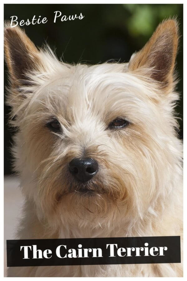 The Cairn Terriers