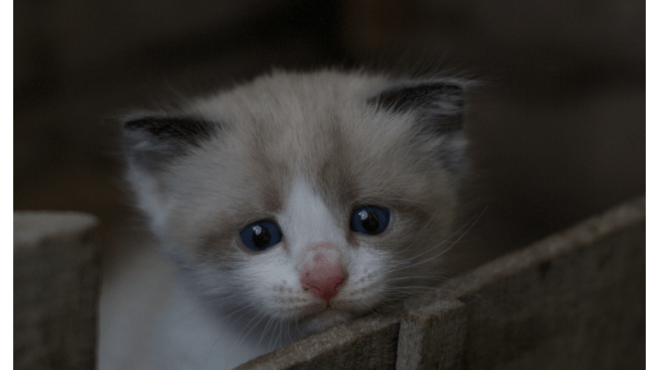 Signs and Symptoms of Parvo in Cats