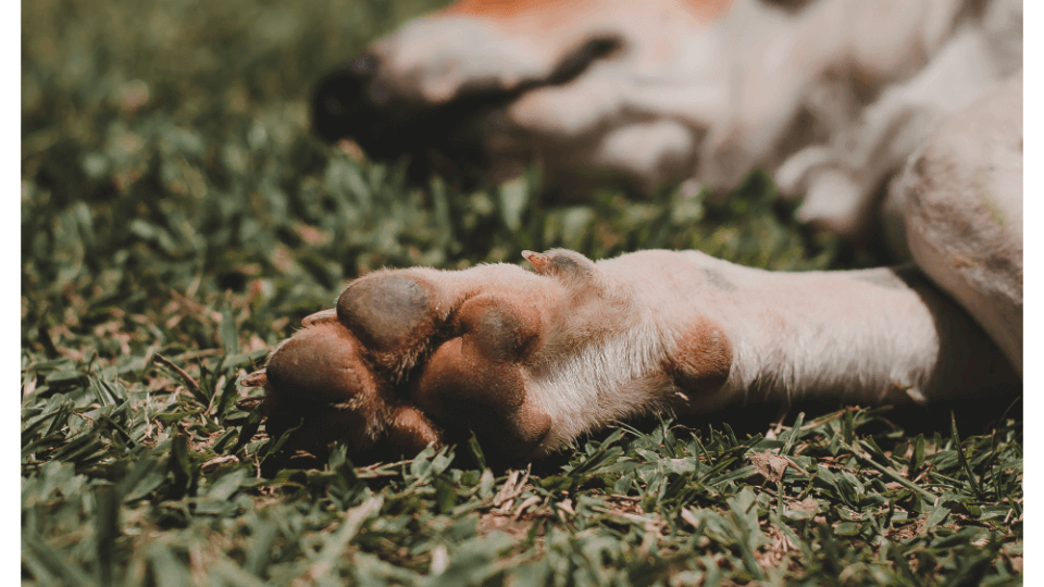 Whipworm Infections in Dogs