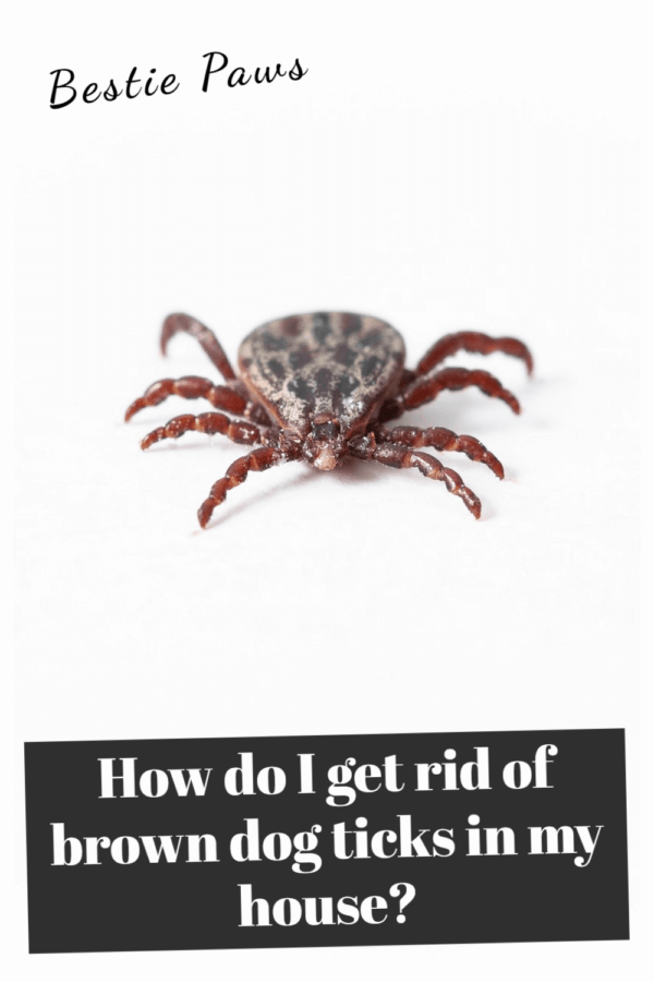 How do I get rid of brown dog ticks in my house?