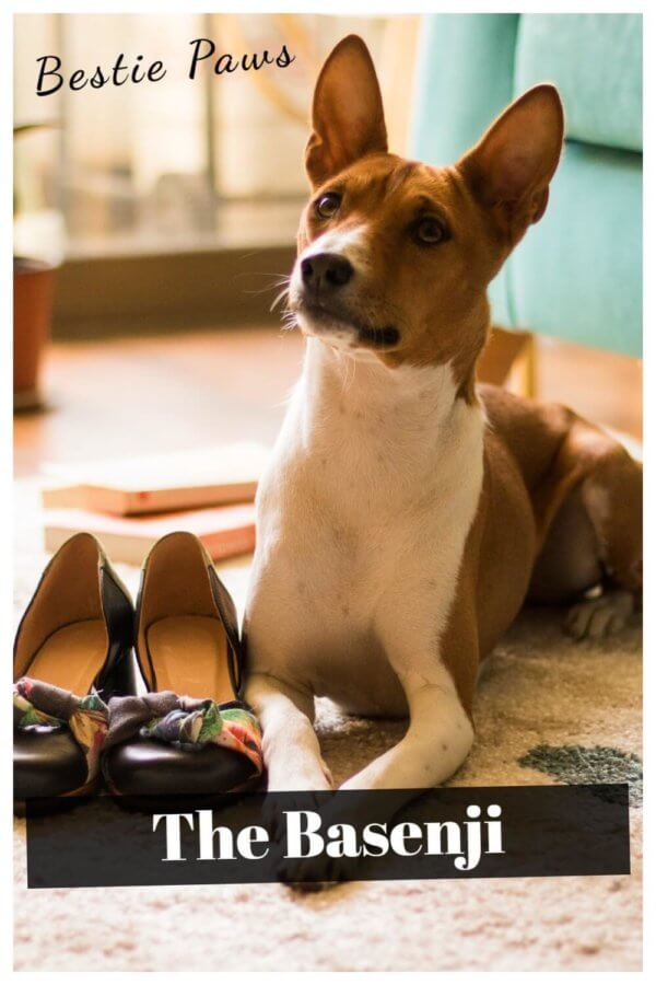 Is a basenji a good family dog?