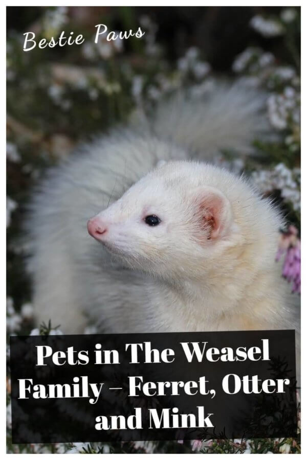 Pets in The Weasel Family – Ferret, Otter and Mink