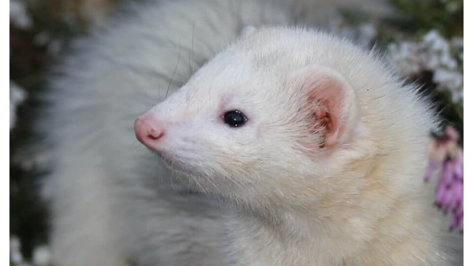 Pets in The Weasel Family