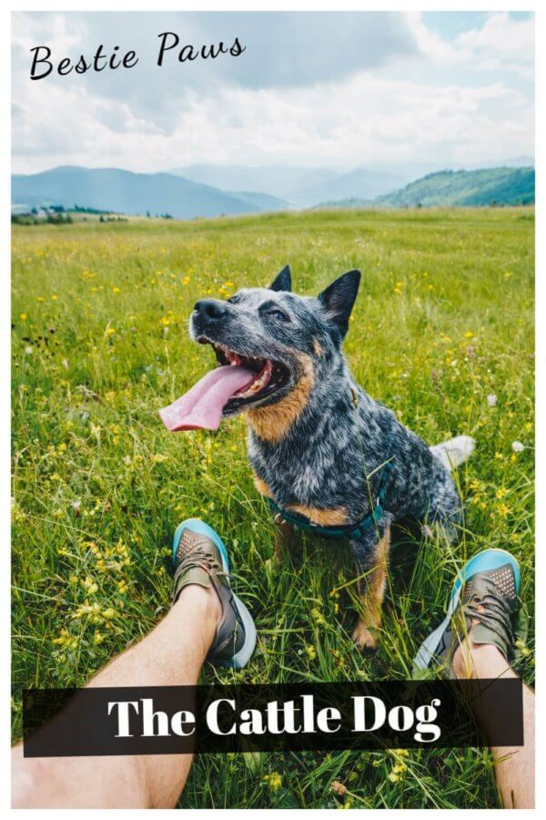 Cattle Dog or Australian Heeler