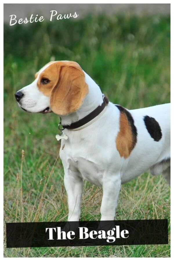 What are beagles known for?