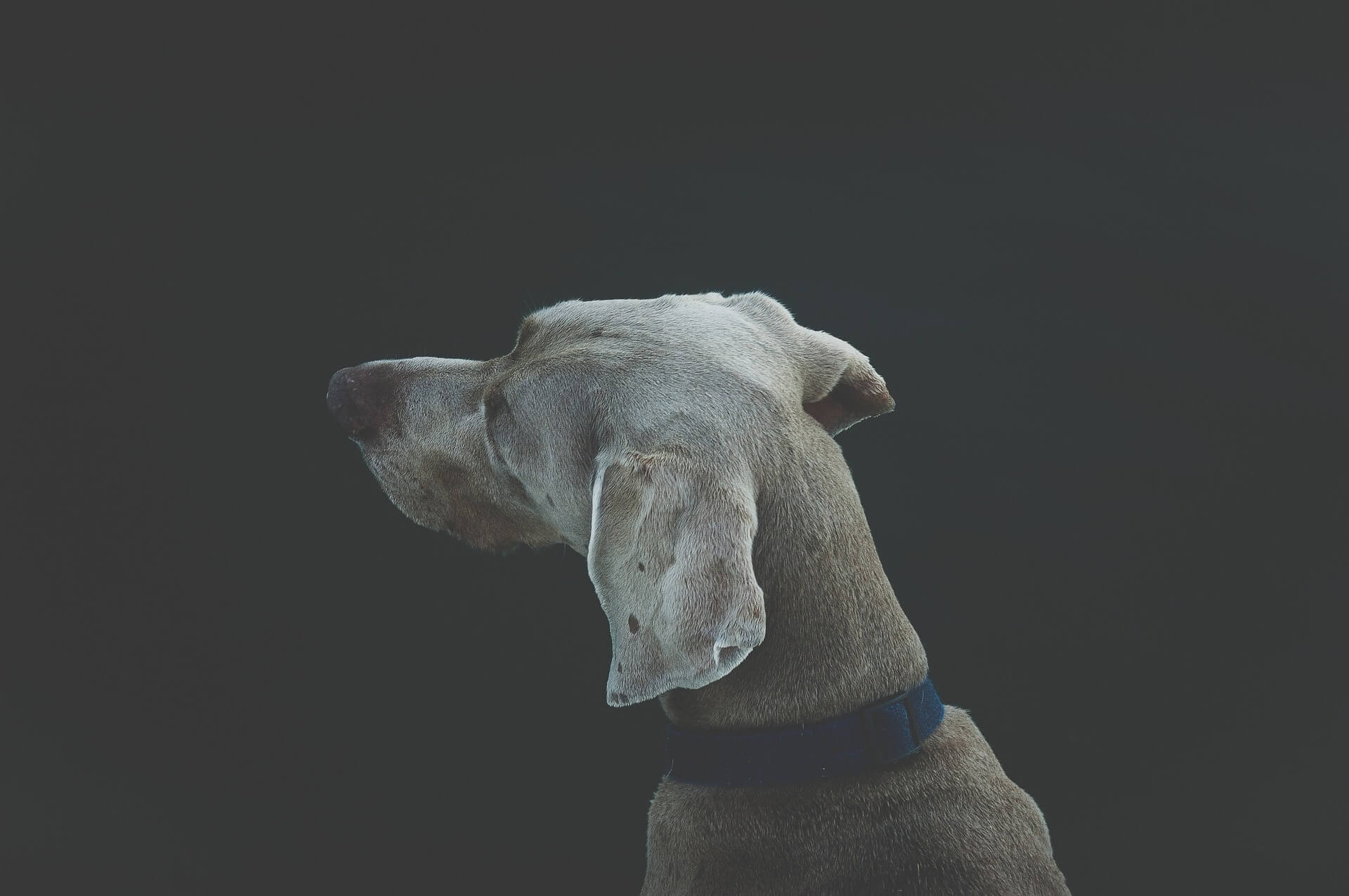 Why does my dog always get ear infections?