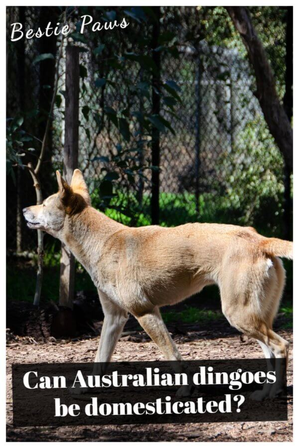 Can Australian dingoes be domesticated?