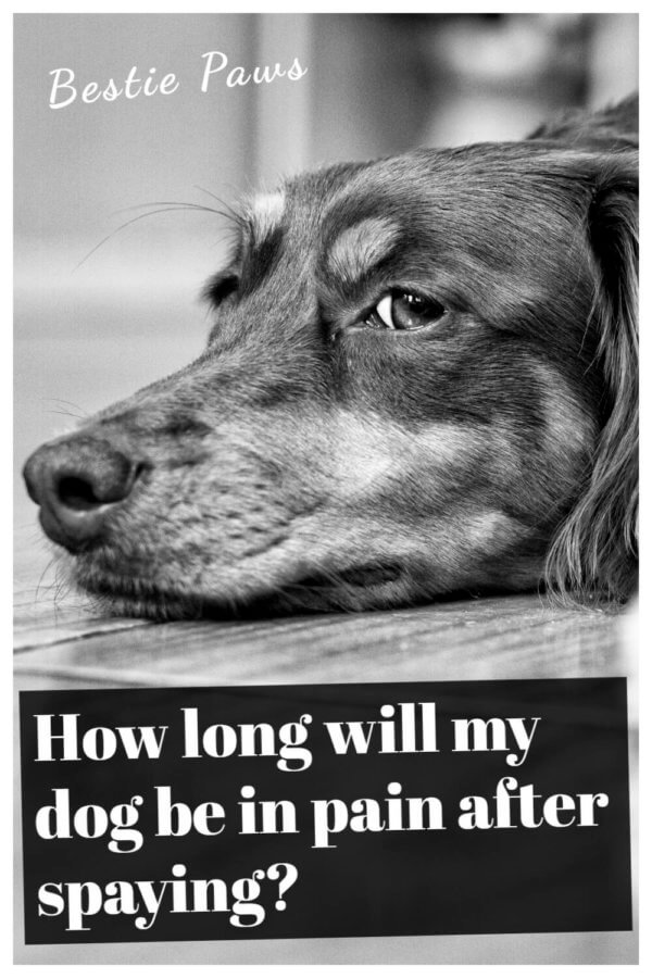 How long will my dog be in pain after spaying or neutering