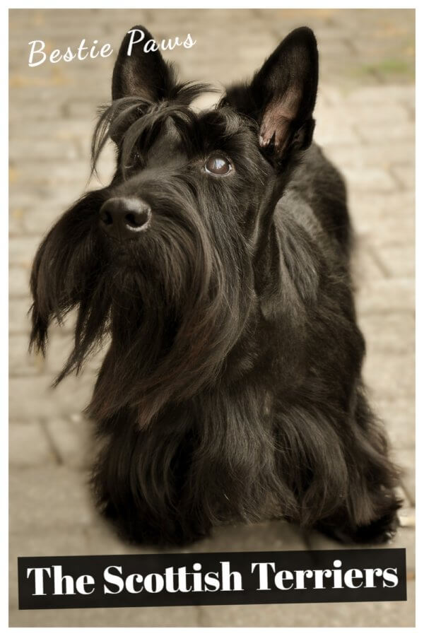 What are Scottish terriers known for?