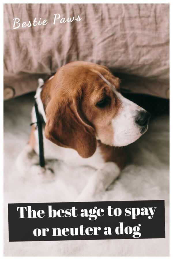 The best age to spay or neuter a dog