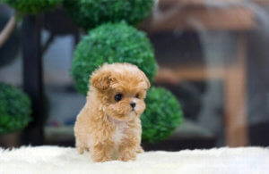 Teacup Maltipoo Puppies