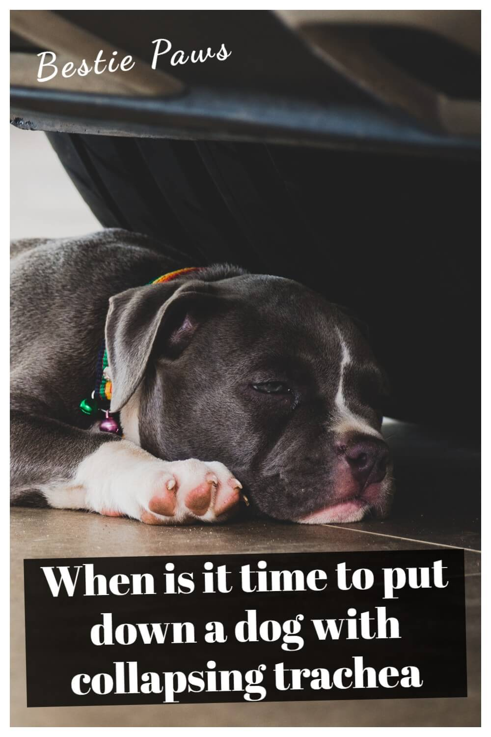 When is it time to put down a dog with collapsing trachea