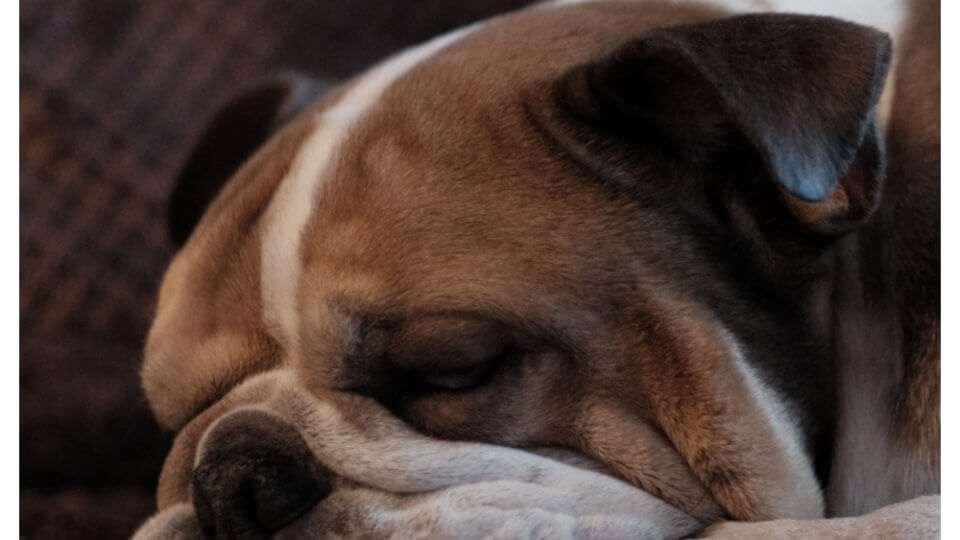 When to euthanize a dog with brain tumor