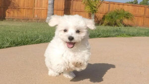 The white Maltipoo, a mix between the two popular breeds of purebred white toy Poodle and the sweet-natured white Maltese, is undeniably one of the most sought-after varieties.
